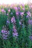 Salice-erba del fiore selvaggio nel campo di sera Fotografia Stock Libera da Diritti