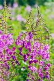 Salice-erba fiorita Immagini Stock Libere da Diritti