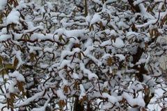 Salice nell'inverno immagine stock