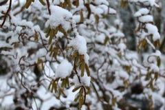 Salice nell'inverno fotografia stock