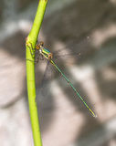 Salice occidentale Spreadwing Immagini Stock
