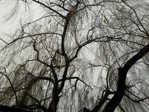 Salice piangente Fotografia Stock Libera da Diritti