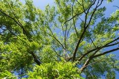 Salice piangente superiore dell'albero Immagine Stock Libera da Diritti