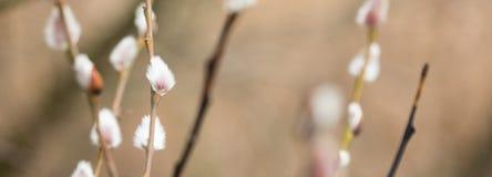 Salice purulento del gattino sul ramoscello del cespuglio in parco fotografia stock