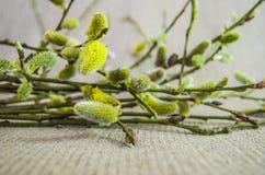 Salice, purulento-salice, ramo, lanuginoso, bianco, germoglio Fotografia Stock