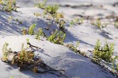 Salicornia fotografia stock