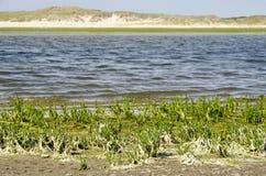 Salicornia auf der Insel von Texel lizenzfreie stockbilder