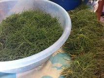 Salicornia di recente selezionato Immagine Stock