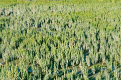 Salicornia europaea Royalty Free Stock Photo