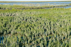 Salicornia europaea Stock Photos