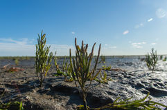 Salicornia europaea. Close up of Salicornia europaea (common glasswort) in the seaside field stock photography