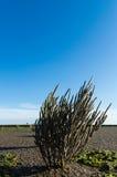 Salicornia europaea Royalty Free Stock Images
