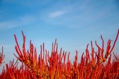 Salicornia europaea. Green and red Salicornia europaea growing in the desert stock photography