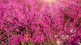 Salicornia europaea plant grows on heavily saline soils stock footage