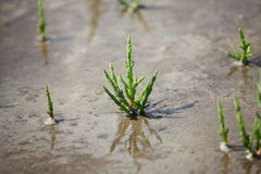 salicornia europaea saltwort στοκ εικόνα με δικαίωμα ελεύθερης χρήσης