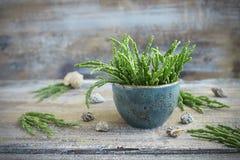 Salicornia fresco - o aspargo do mar Fotos de Stock Royalty Free