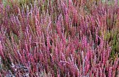 Salicornia o Salsolaceae Imagenes de archivo