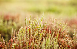 Salicornia plant Royalty Free Stock Images