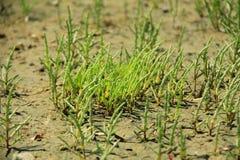 Salicornia Salicornia europaea Stock Images