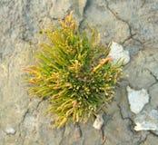 Salicornia su argilla secca Immagine Stock Libera da Diritti
