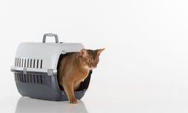 Salida abisinia curiosa del gato de la caja y mirada hacia fuera Aislado en el fondo blanco Imágenes de archivo libres de regalías