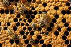 Salida de una abeja de una célula. Imagen de archivo libre de regalías