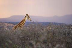 Salida del sol africana colorida en una jirafa Suráfrica Imágenes de archivo libres de regalías