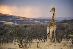 Salida del sol africana colorida en una jirafa Suráfrica Foto de archivo libre de regalías
