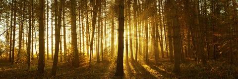 Salida del sol brumosa del bosque Foto de archivo