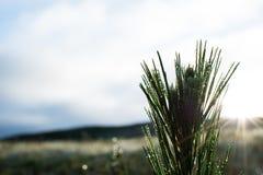 Salida del sol con el árbol de pino del bebé imágenes de archivo libres de regalías