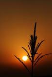 Salida del sol con el contre-jour de la floración del maíz Imagen de archivo libre de regalías