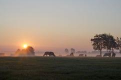 Salida del sol con las vacas Fotografía de archivo libre de regalías