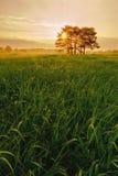 Salida del sol con los árboles de pino del prado y la alta hierba con rocío Imagen de archivo