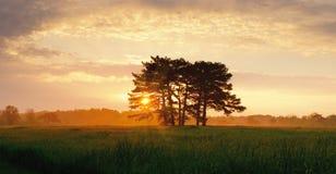Salida del sol con los árboles de pino del prado y la alta hierba con rocío Imagen de archivo libre de regalías