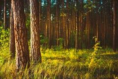 Salida del sol de Forest Woods Under Sunlight Sunset del verano foto de archivo