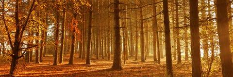 Salida del sol de Forset del pino Fotos de archivo libres de regalías