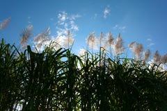 Salida del sol de la flor de la caña de azúcar, cielo azul de la belleza Imagenes de archivo