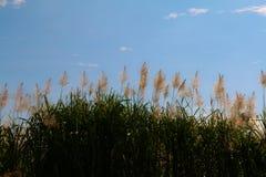 Salida del sol de la flor de la caña de azúcar, cielo azul de la belleza fotografía de archivo libre de regalías