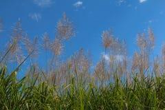 Salida del sol de la flor de la caña de azúcar, cielo azul de la belleza Imágenes de archivo libres de regalías