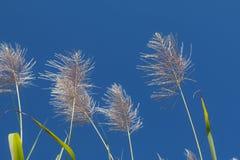 Salida del sol de la flor de la caña de azúcar, cielo azul de la belleza Fotos de archivo