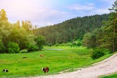 Salida del sol de la mañana con las vacas Foto de archivo