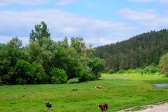 Salida del sol de la mañana con las vacas Foto de archivo libre de regalías