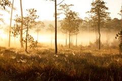 Salida del sol de la mañana en bosque oscuro del pino fotos de archivo libres de regalías