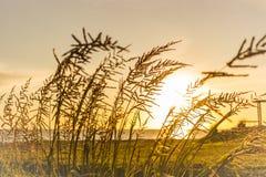 Salida del sol de la mala hierba de la cola de zorra Imágenes de archivo libres de regalías