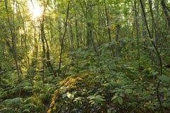 Salida del sol de la naturaleza del verano en el bosque denso de hojas caducas Foto de archivo