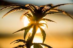 Salida del sol de la planta de marijuana fotos de archivo libres de regalías