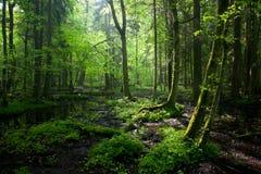 Salida del sol de la primavera en el bosque de Bialowieza Foto de archivo libre de regalías