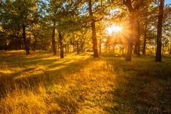 Salida del sol de la puesta del sol en el bosque Tr de Atumn Forest Natural Sunlight In Oak foto de archivo