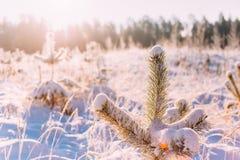 Salida del sol de la puesta del sol en el brillo de Sunny Winter Snowy Forest Sun durante invierno Imagen de archivo libre de regalías