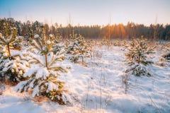 Salida del sol de la puesta del sol en el brillo de Sunny Winter Snowy Forest Sun sobre el bosque del invierno Fotografía de archivo libre de regalías